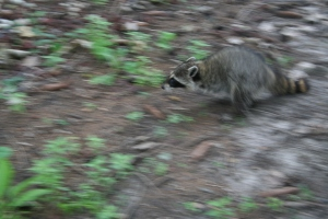 raccoon 004